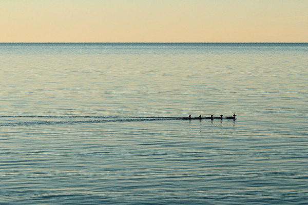 Mergansers on the Bruce Penninsula, Ontario.