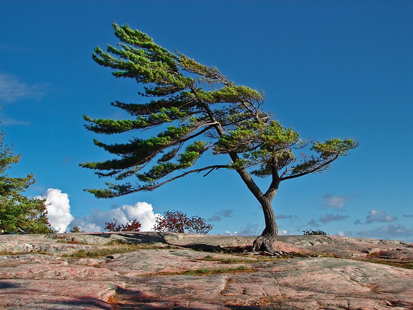 Lone Pine at Killbear Park, Ontario