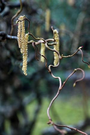 Catkins on a Corkscrew Hazelnut Tree