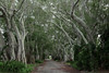 Banyan Tree Lane