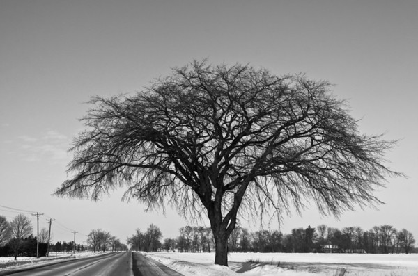 The Sheltering Elm Tree