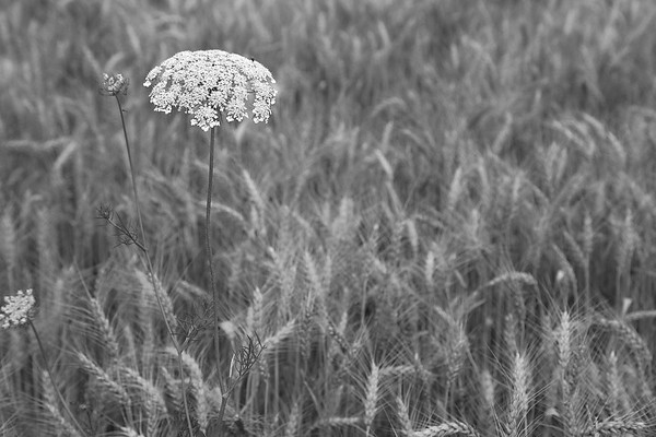 Queen Anne's Lace against the barley