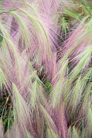 Cascading Foxtail Barley