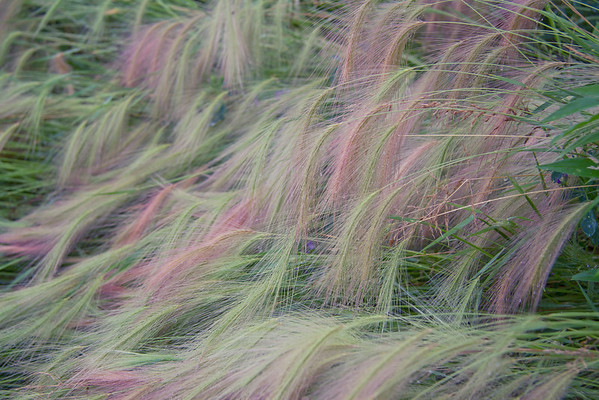 Flowing Foxtail Barley