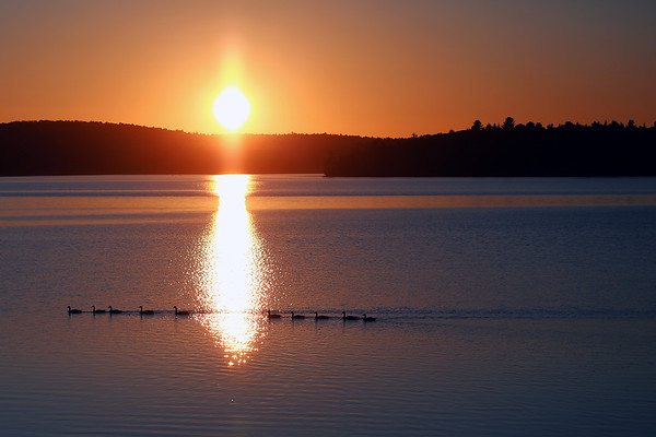 Canada Geese on a lake near Whitney, Ontario.