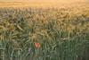 Golden Sun Barley