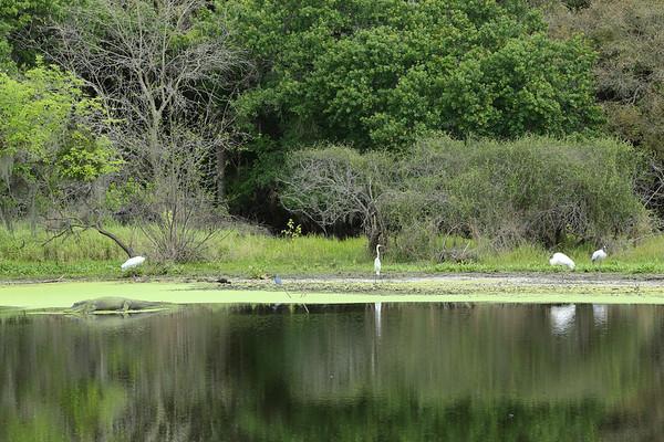 Florida Alligator, Wood Storks, Great Egret, Little Blue Herons