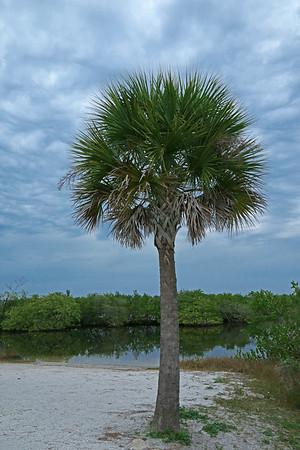 Sabal Palmetto Tree