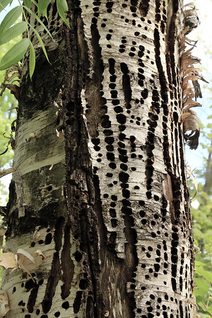 Woodpecker holes in Tree