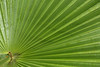 Fan Palm Tree Leaf