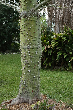 Ceiba Tree  (Silk Cotton Tree)
