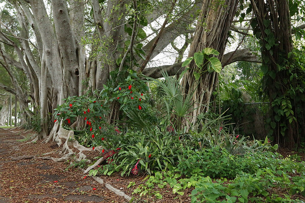 Beautiful Banyan Trees