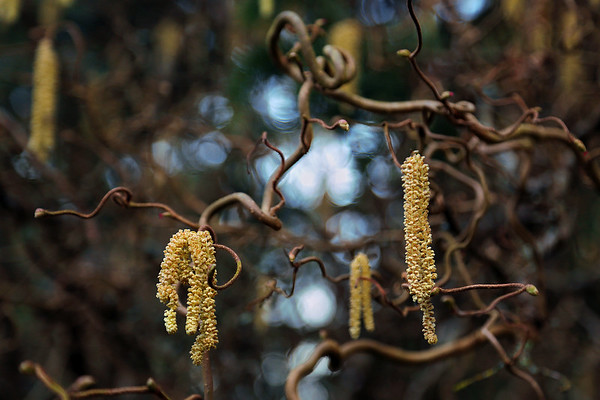 Catkins on a Corkscrew Hazelnut Tree