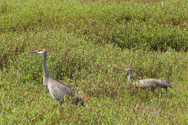 Sandhill Cranes with baby colts.