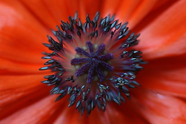 Poppy Symmetry