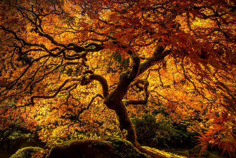 Portland Japanese Gardens MapleTree