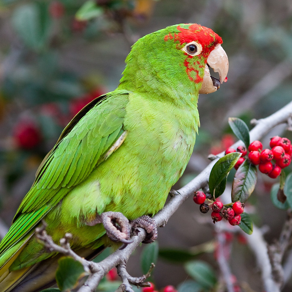 Lunch With the Parrots of Telegraph Hill