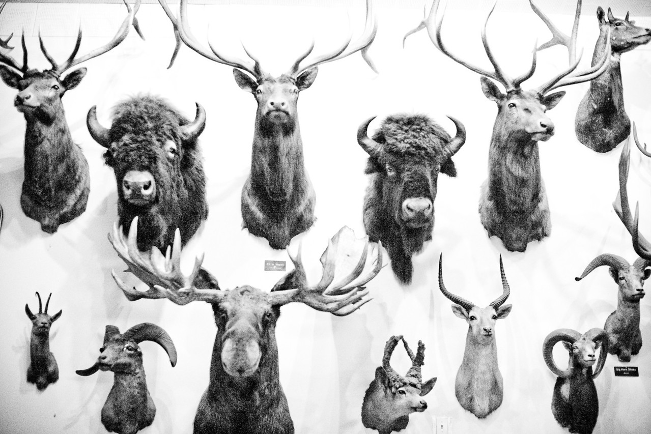 Foster's Bighorn, Plate 6
