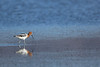 avocet heaven
