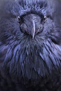raven regalia