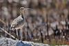 cautious curlew