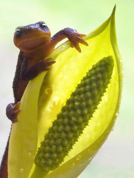 salamander & cabbage