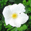 A single Dog-rose