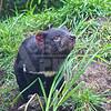 Hobart 20111020 125 Tasmanian Devil Conservation Park M
