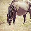 Work Horse Grazing in a Field Rural America