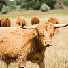 Scottish Highlander Cow in a Pasture Rural America