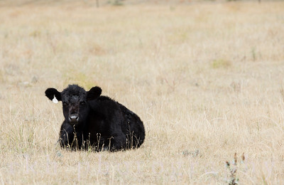 Calf Lying in Field Rural America
