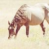 Horse Grazes in a Bright Field in Rural America