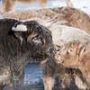 Scottish Highlander Cattle in the Snow