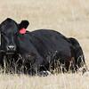 Cow Lying Down in Field Rural America