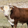 Bull in Field Rural America