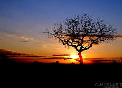 Sunset and Acacia Botswana