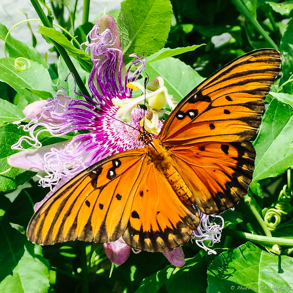 Butterfly and Passion Flower
