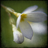Tiny White Flower Blended