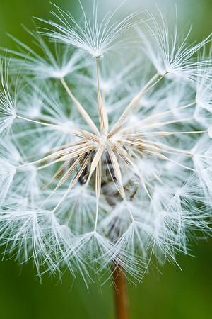 Dandelion - 1