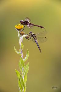 Oben: Schwarze Heidelibelle (Sympetrum danae; Männchen); unten: Kleiner Blaupfeil (Orthetrum coerulescens, Männchen)