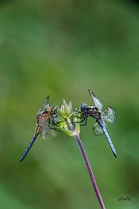 Kleiner Blaupfeil (Orthetrum coerulescens, Männchen; rechts und links)