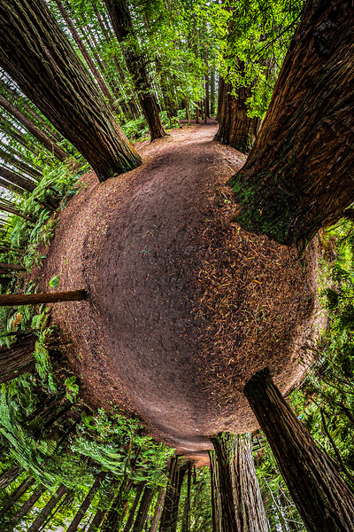 Track along Sequoias and Mamakus - The Redwoods