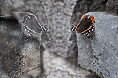 "Thursday August 9, 2012  Ghost of Butterflies Past  This was an experiment. The original shot was at a wall at Antietam Battlefield. After creating a detail enhancing mask on the image, I horizontally flipped just the mask.  On the ""critique discussion"" that is circulating in the community: Count me ""in"". I absolutely love the idea of a network of artists helping each other grow. I enjoy reading compliments on my images. But what I really want to know is what I did right that I should keep doing, what I did wrong that I should stop doing and things that I might consider for artistic purposes (variations of what I've done). If I know that you are interested in the same  nature of comments on your images, I will do my best to give you that. Another concept that i think helps with artistic growth is asking questions. I've done this with some of you and I hope that you feel free enough to ask me questions as well. Also, I think we should keep in mind that not every critique is meant to specifically improve the quality of an image. More often than not, when I critique something, I'm lending a different perspective, not a suggestion for improvement. Having said this, I'm excited. I think if this approach catches with enough of us, we all have the power to mold and form each other as artists :)"