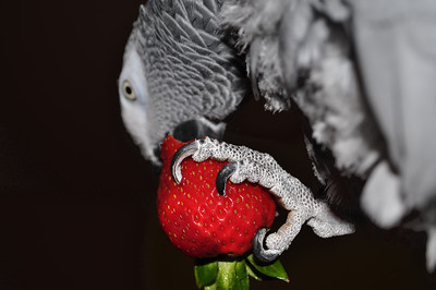Death of a Strawberry  I took this picture about a month ago when I was playing around with the effects of flash. Jodi doesn't do much when she sees a camera. So I gave her a strawberry to keep her occupied. My experiment didn't last very long. She started eating the berry (Oh the carnage!) the flash started going off in her face and she threw the strawberry to the floor. This was the best of the few shots I got. I was close enough to her that the background came out almost black. That's the effect I was going for. So I touched up the background in PSE to make it more consistent.  by Jacci.   Hopefully, tomorrow, we will be back to posting current pictures. I'm seeing the neurosurgeon today.  [ Additional note by david:  There was no photoshopping to make selective color - Jodi is an African Gray (all gray but her tail, which is red)... ]