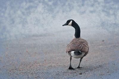 12/28/2010 ***Canada Goose*** Must view in X3 for paint and paper textures.  This was actually taken in a parking lot, the bird heading for a nearby curb. But with a little bit of cloning and a lot of digital painting, she looks a little more at home on a beach. Fun with CS5 :)