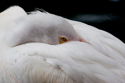 "05/23/2010 ""Shyness"" One last wild animal for Sunday morning. :) White Pelican"