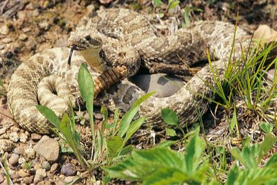 Black tail rattlesnake senses warmth with tongue