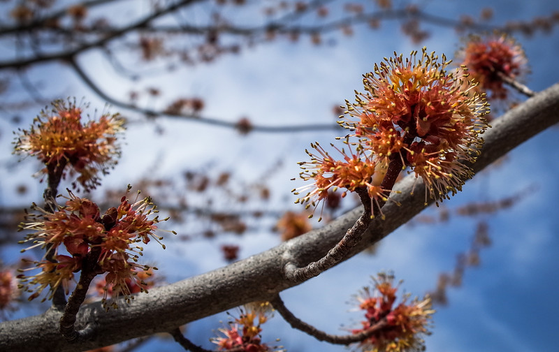Maple Tree Flowers