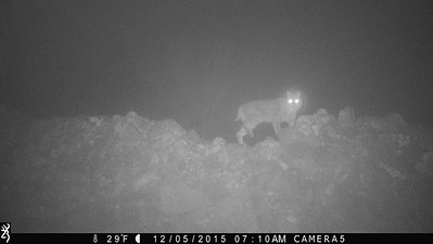 Bobcat in Fog