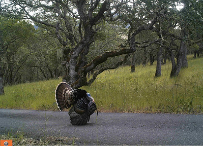 Turkey Fanning